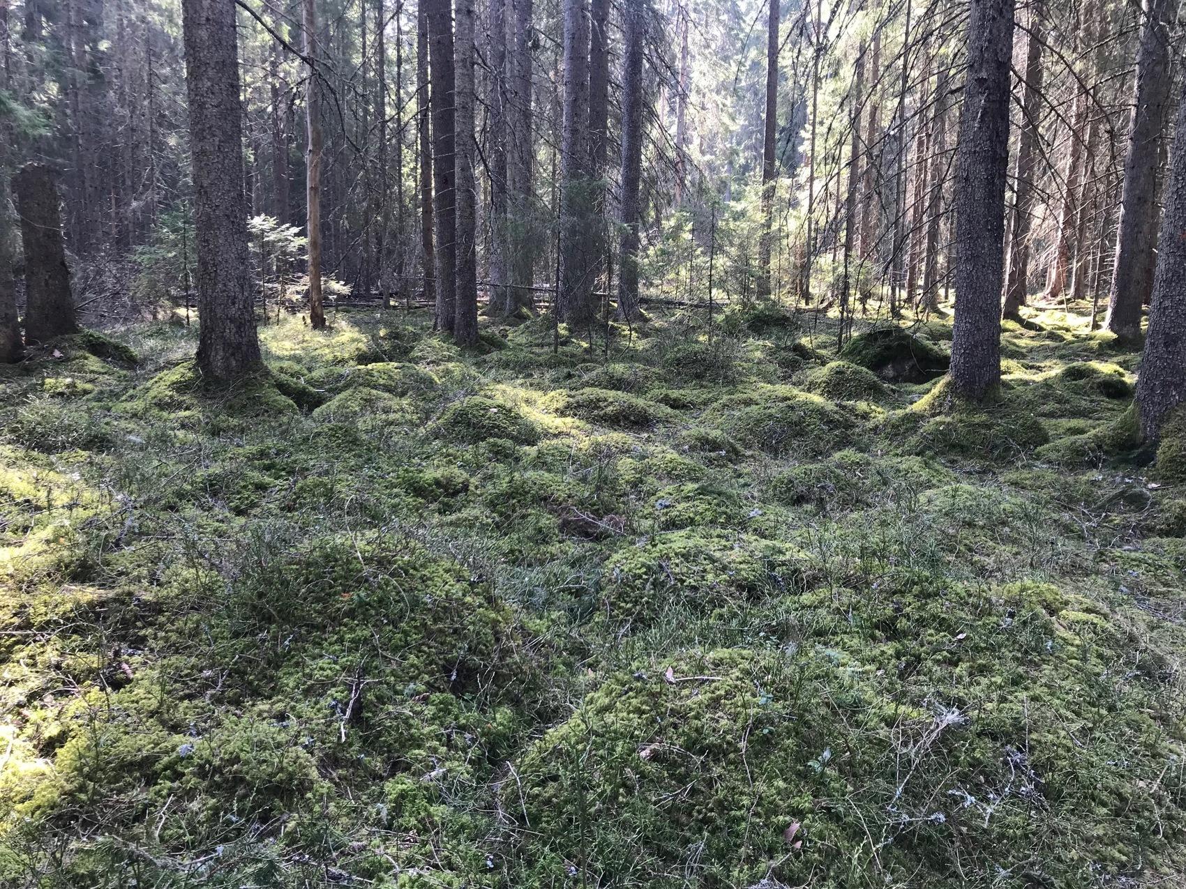 Mossiga kullar i tät skog