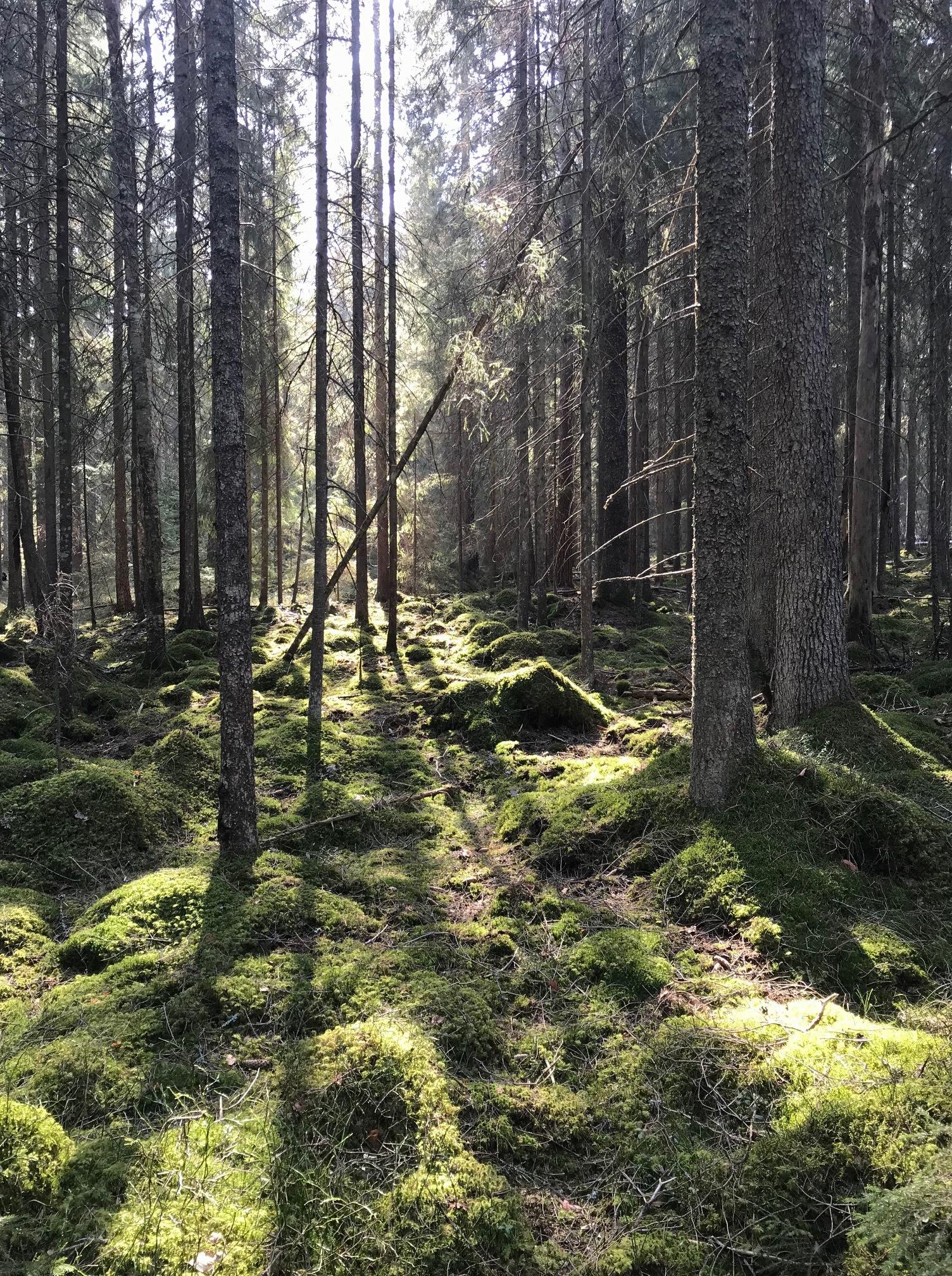 Solljus strimmar ner genom tät skog.