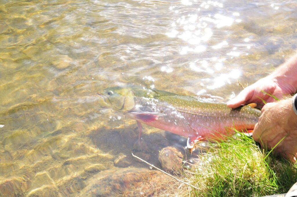 Två händer släppper i en stor fisk i vattnet.