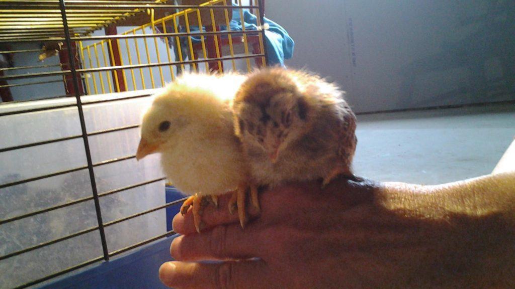 Två gula små kycklingar som sitter på en hand.