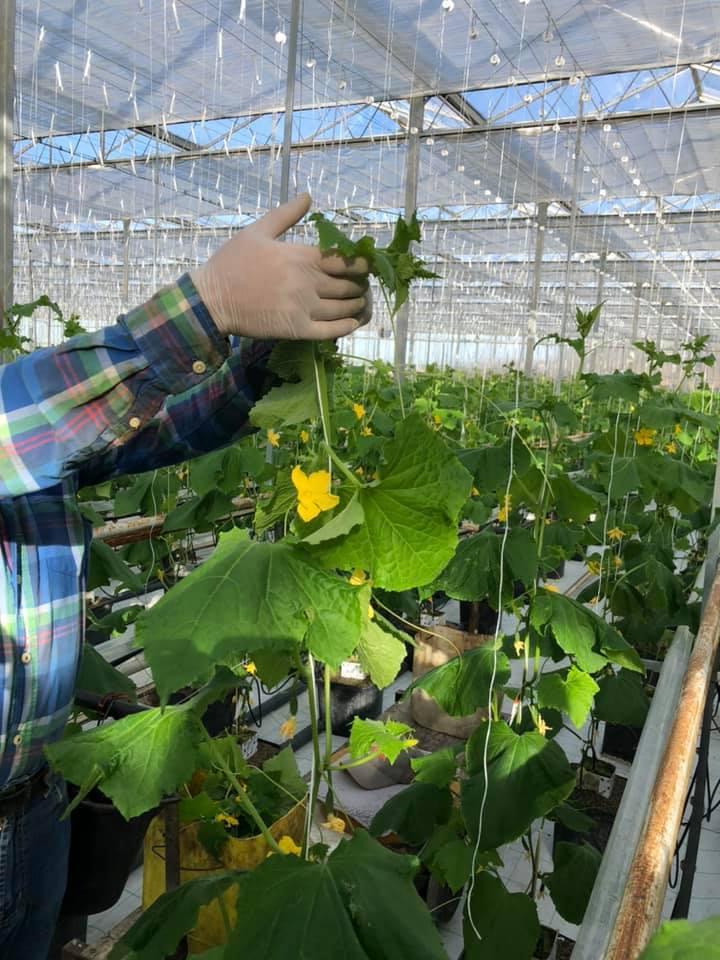 Man i skjorta håller en gurkväxt