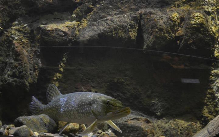 Fisk simmar i akvarium