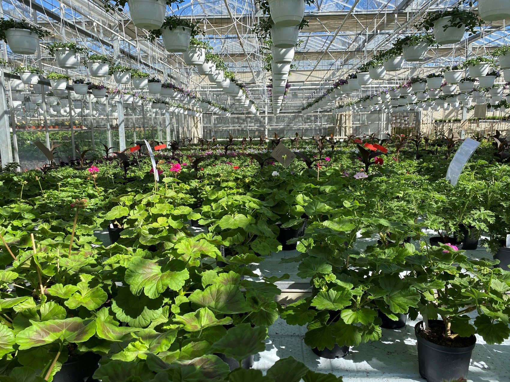 Ett växhus fullt med gröna blad täcker stora bord i taket hänger rader med amplar.