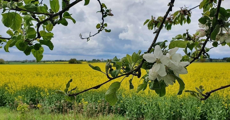 Äppelblom i fokus med ett gult rapsfält i bakgrunden