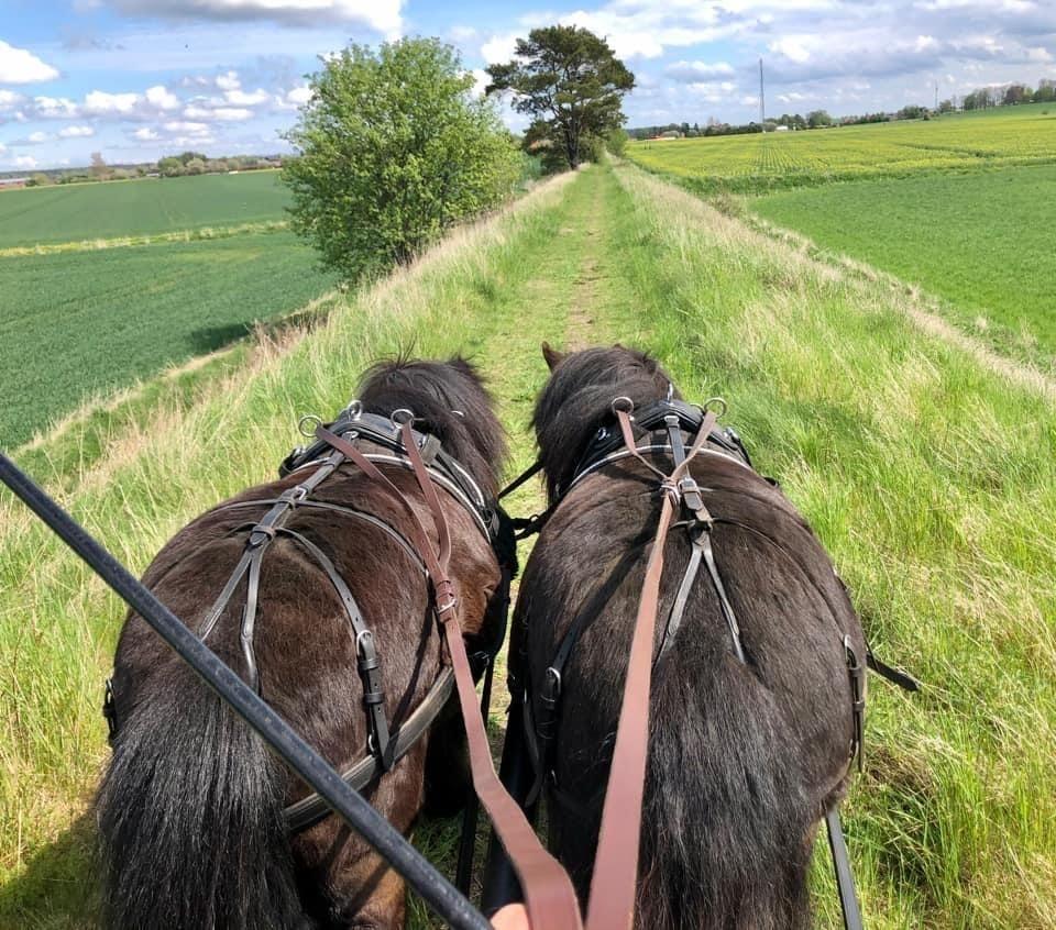 Bakdelen på två brunfärgade hästar som drar en förmodad vagn, på en grönskande väg