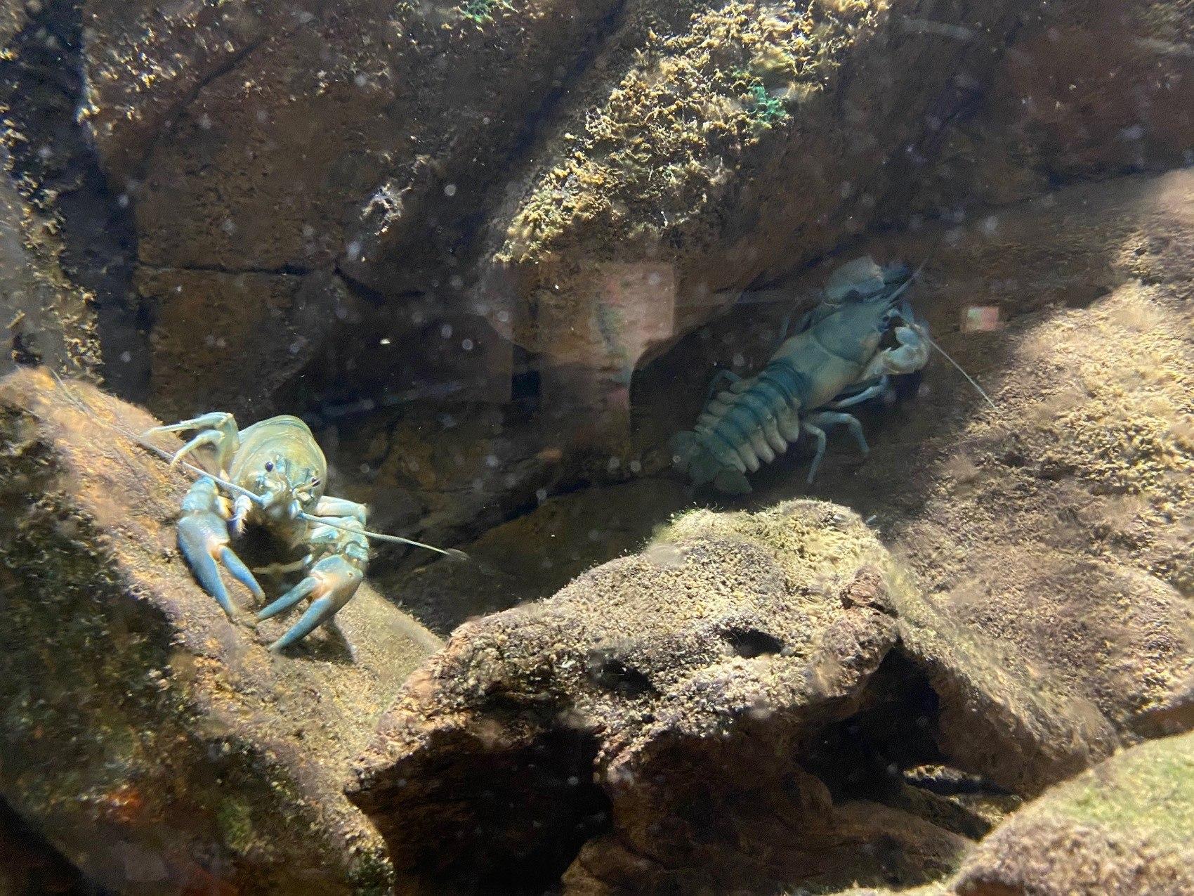 Kräftor i akvarium