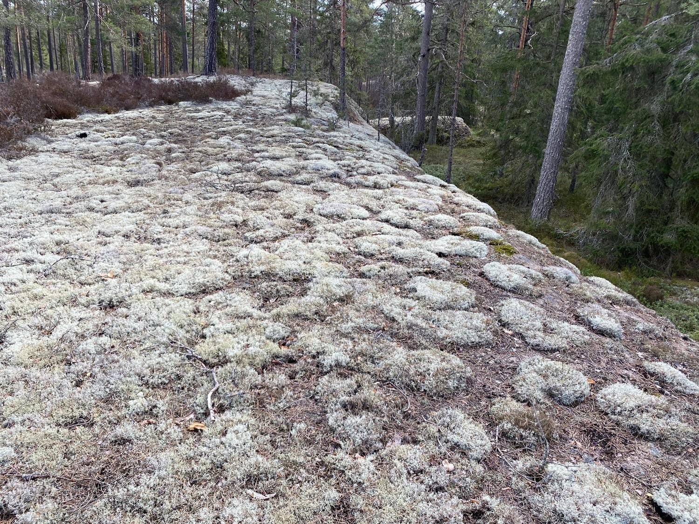 Mossa på stenhäll