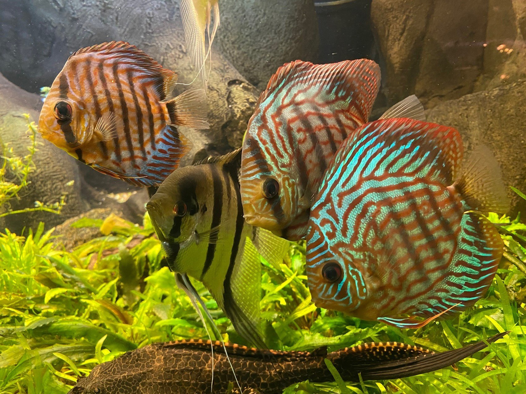 Fyra färgglada fiskar i akvarium