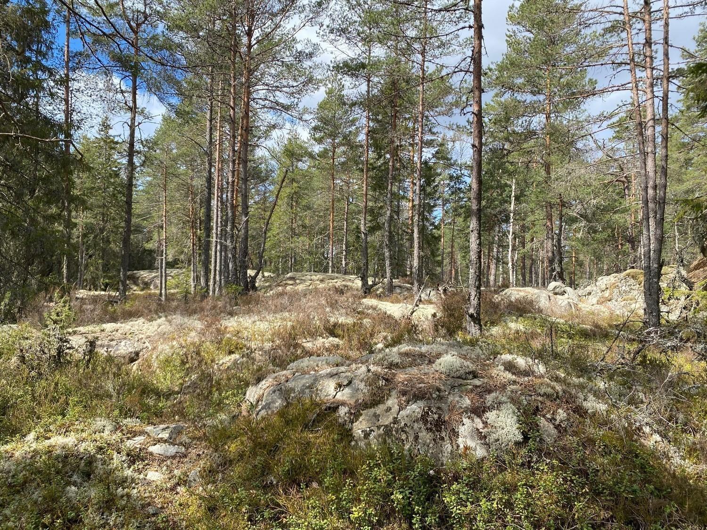 Skog med höga tallar och mossa