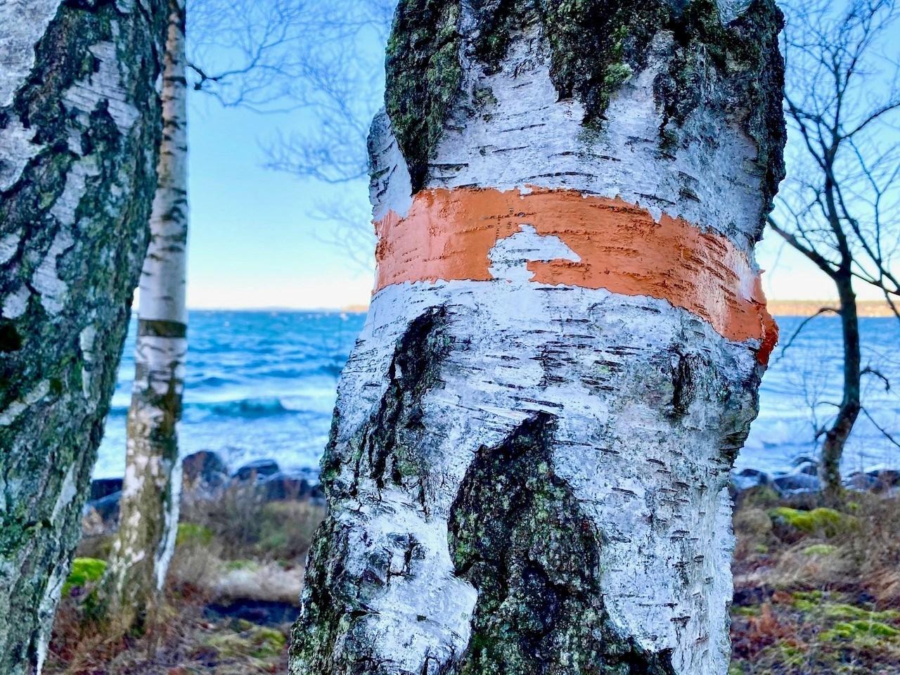 Björkstam med en oranget band målat runt om
