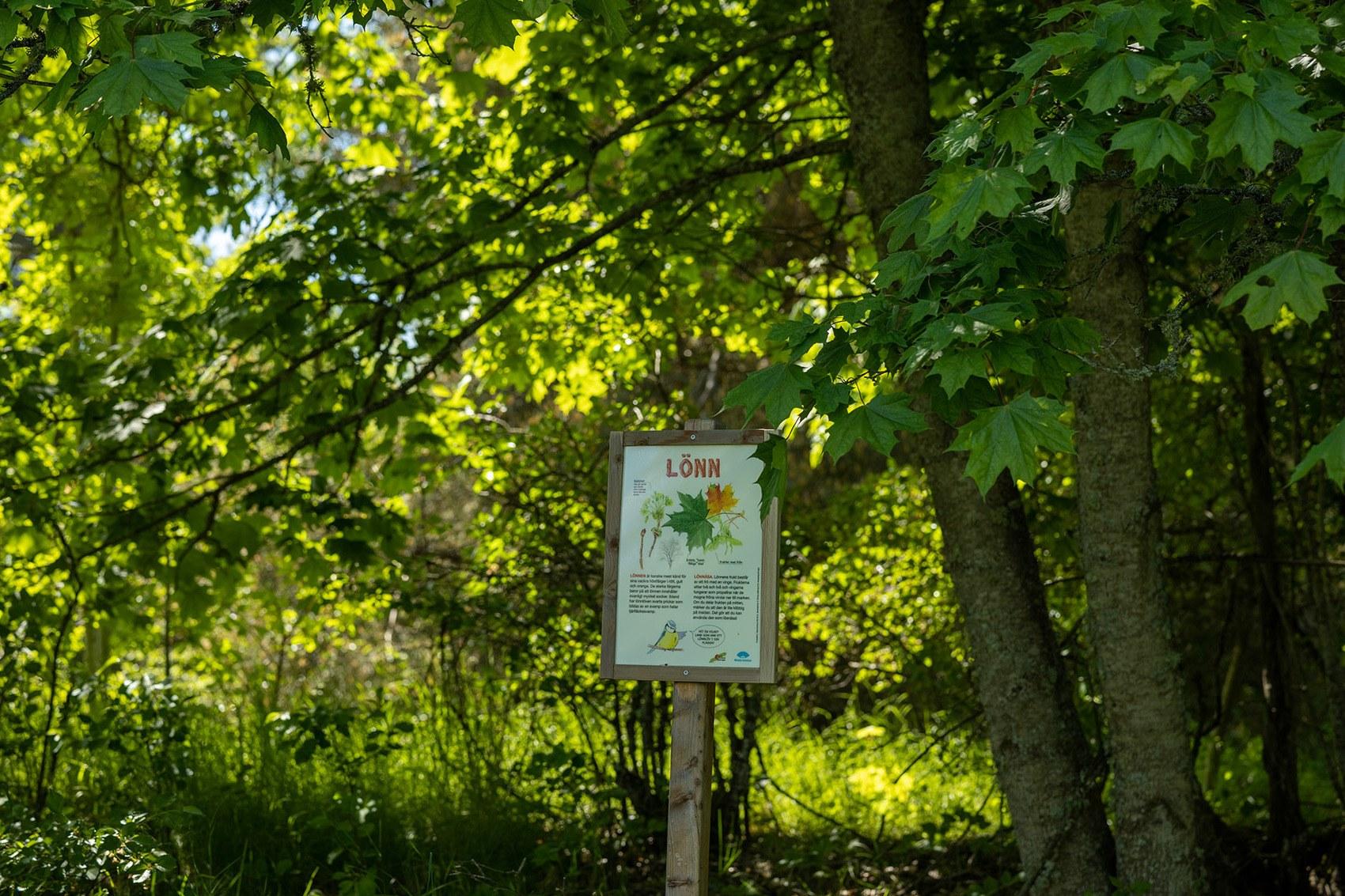"""Ett stort lönnträd i bakgrunden med fokus på en skylt som det står """"Lönn"""" på"""