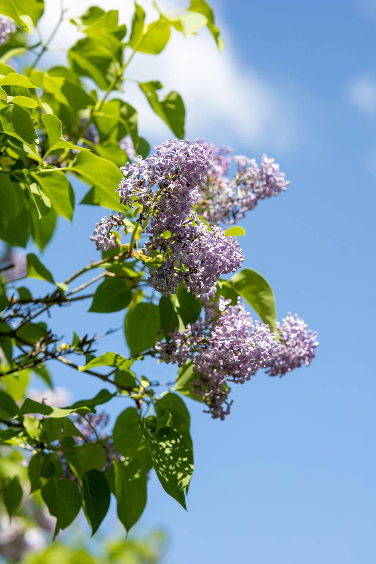 Del av en lila syrenbuske mot en blå himmel