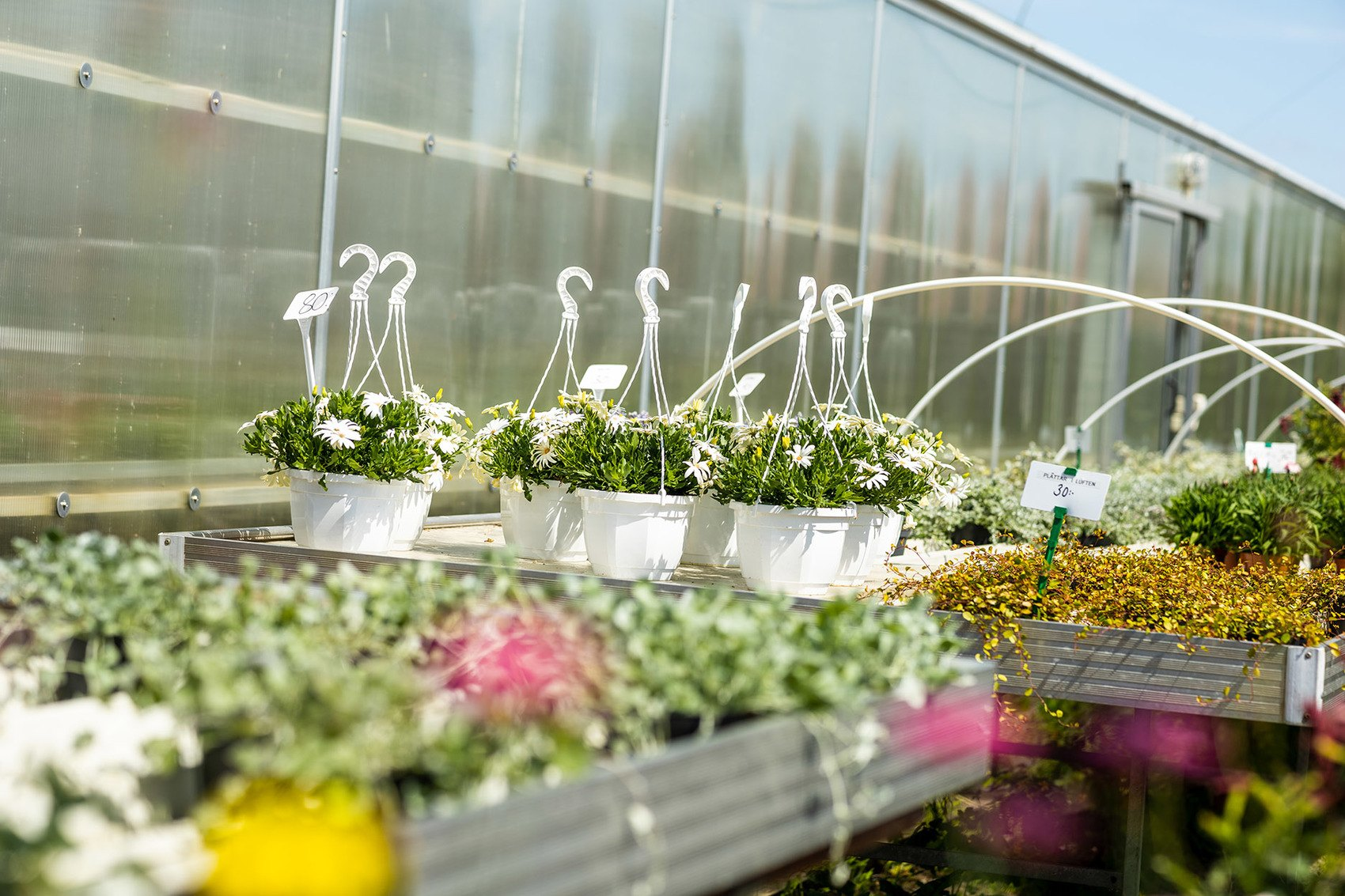 Foto på massor av blommor, dels amplar med vita blommor men även rosa och gröna växter skymtar på bänken