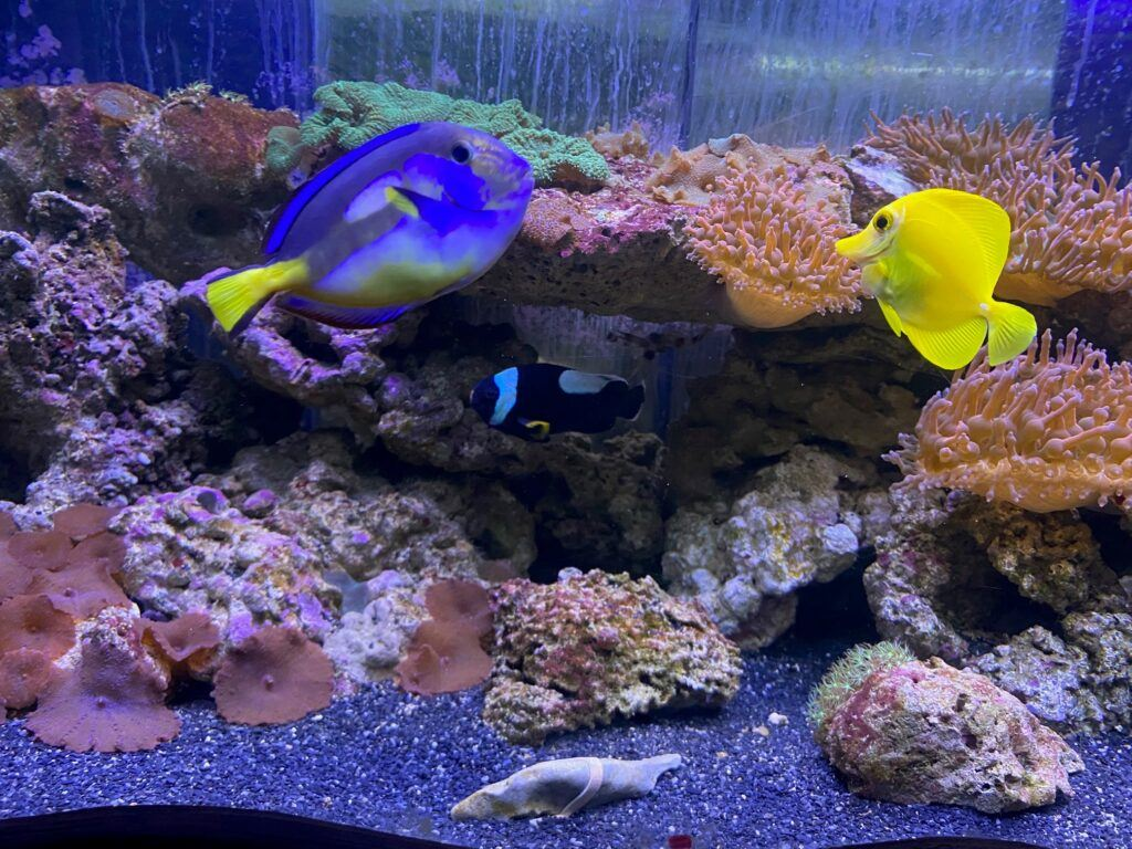 Färgglada fiskar i gult och blått akvarium