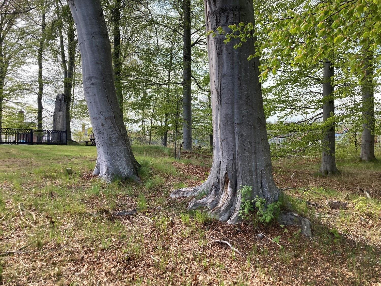 Stammar av bokträd