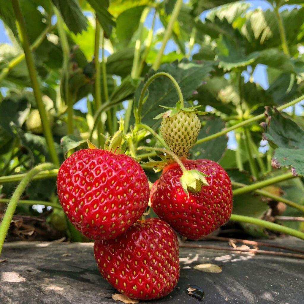 Tre mogna jordgubbar på planta
