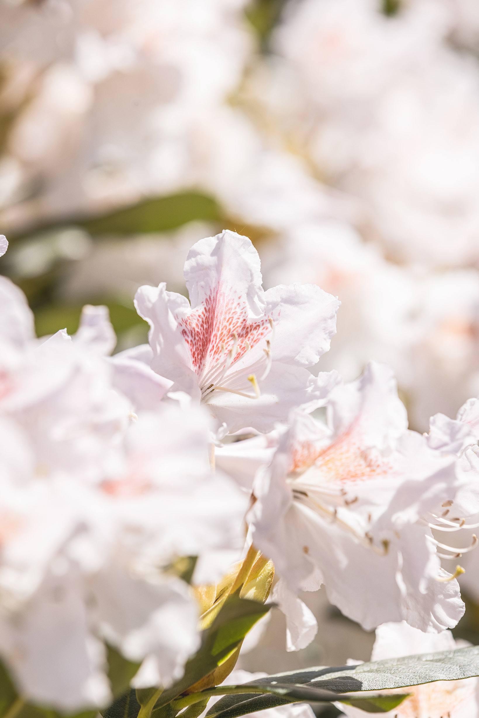 Närbild på en vit blomma med inslag av rosa