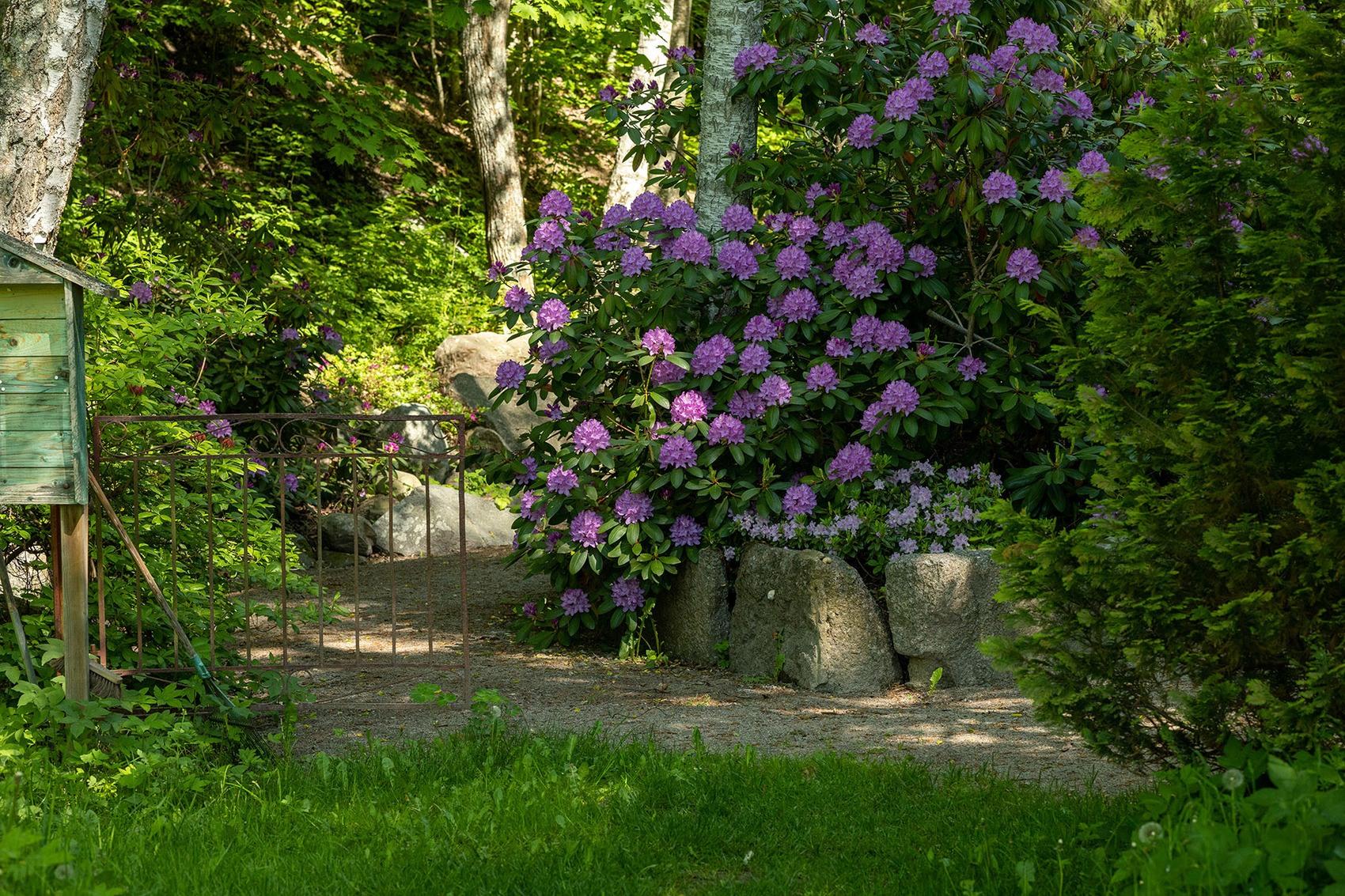 en praktfull lila rhododendronbuske